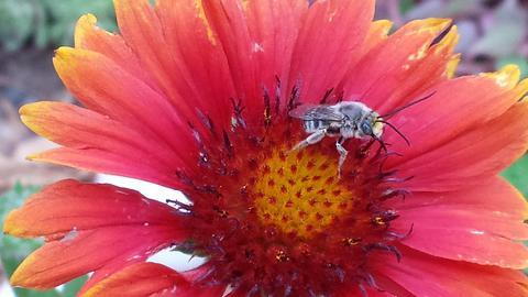 bee with light grey hair on a red flower