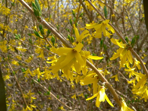 Branches of forsythia with yellow, bell-shaped flowers
