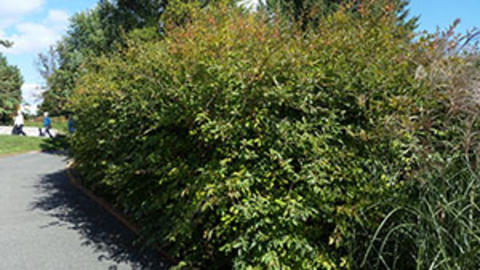 A forsythia shrub with green foliage in a landscape planting