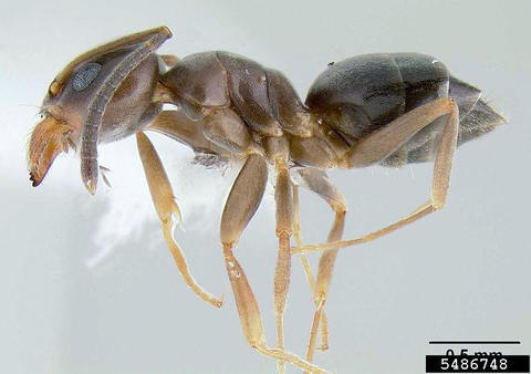 Specimen of odorous house ant worker.