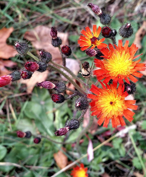 three orange hawkweed flowers in bloom with many other dark red blossoms