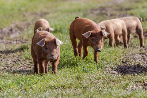 Piglets on an open field.