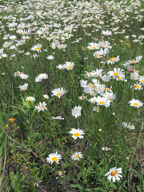 many oxeye daisies growing in the grass