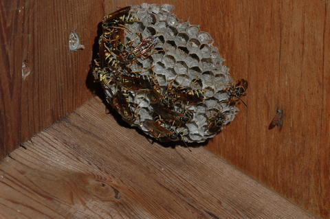 A honeycomb like wasp nest with several brown and yellow paper wasps