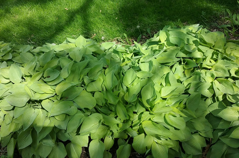 Messy mass of bright green hosta plants next to a lawn.