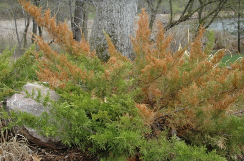 Large green evergreen shrub with brown needles on many of its large branches.