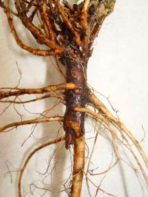 alfalfa root with severed secondary tap root.
