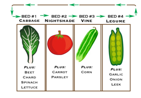 Four planting beds in a vegetable garden with arrows indicating how to rotate different crops. The first has cabbage, the second a tomato, the third a cucumber, and the fourth peas.