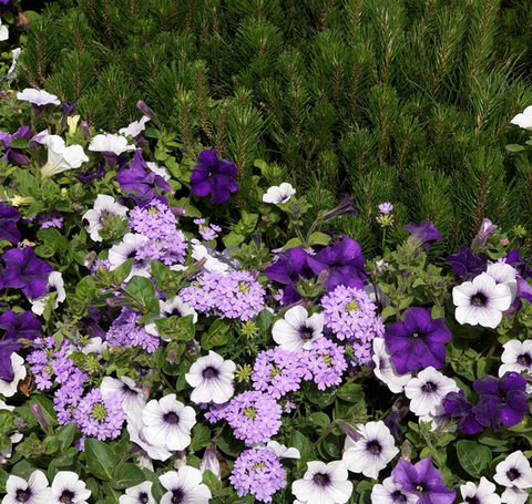 Dark and light purple petunias in a mixed planting with light purple verbena.