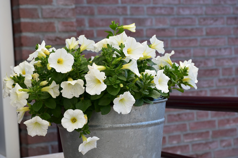 A galvanized steel planter containing light yellow petunias with a brick wall in the background.