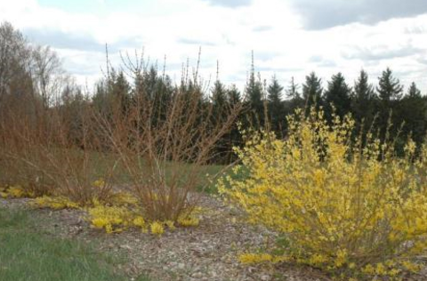 Three shrubs with yellow flowers only at the plant base and no flowers on upper stems. A yellow blooming shrubs with hardy flower buds.