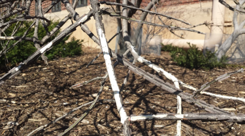 Gray branches on shrub with areas of bark eaten away.