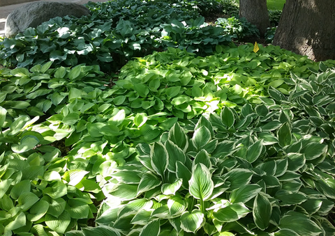 Blue-green, chartreuse and variegated hostas underneath oaks trees.
