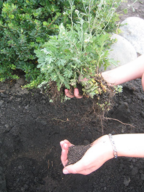 Person holding a freshly dug garden plant in one hand and soil in the other hand over a garden bed of soil.