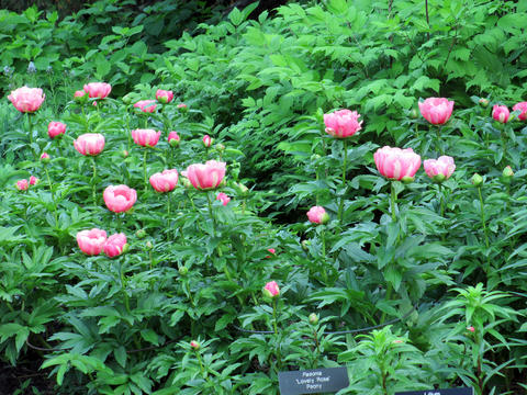Several peony bushes in a garden with a lot of greenery.