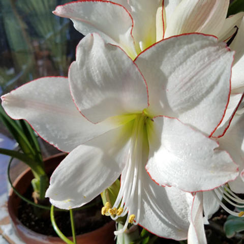 Growing and caring for amaryllis umn extension picotee white with thin red edge flowering amarayllis mightylinksfo