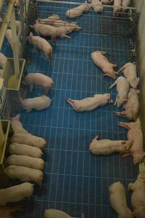 grow-finish pigs feeding and laying down in hot temperature.