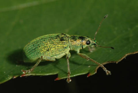 A shiny metallic green beetle with a long snout and two antennae seen on a leaf with ragged edges