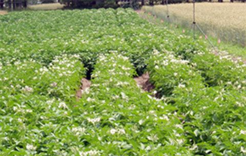 potato field with plants reduced in size