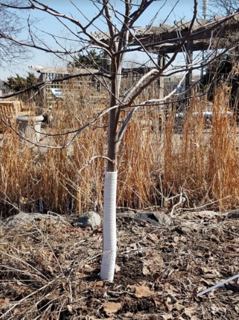 young tree with white plastic tube on lower trunk with tall grasses behind.