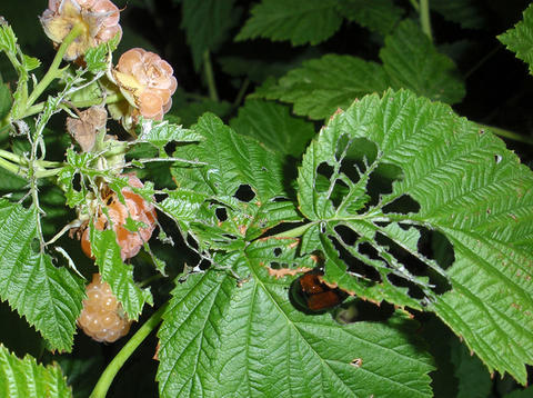 chewed raspberry leaves on a raspberry bush with fruit