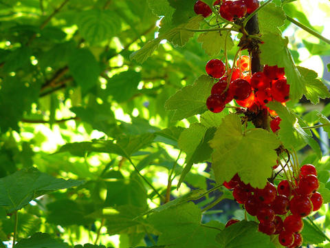 Red Lake currants growing on plant