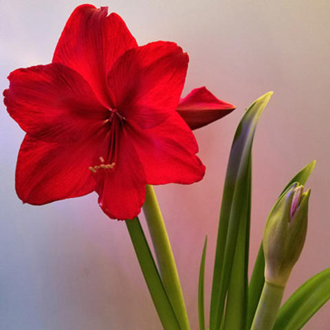 'Red Pearl' red flowering amaryllis