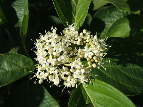 A flower cluster consisting of numerous small white flowers
