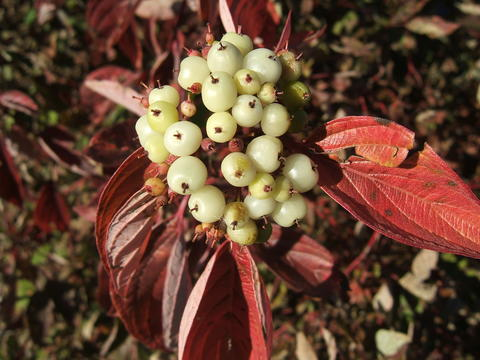 A fruit cluster consisting of numerous small white round fruit with red fall leaves on Isanti dogwood