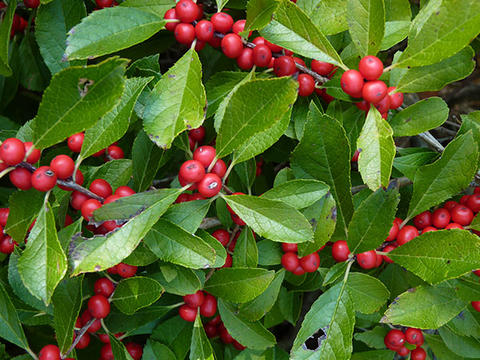 Green leaves and red fruit of 'Red Sprite' winterberry
