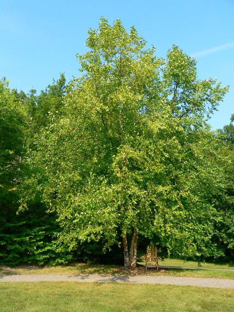 Large multi-stemmed Heritage river birch tree in summer with Adirondack chair underneath the canopy