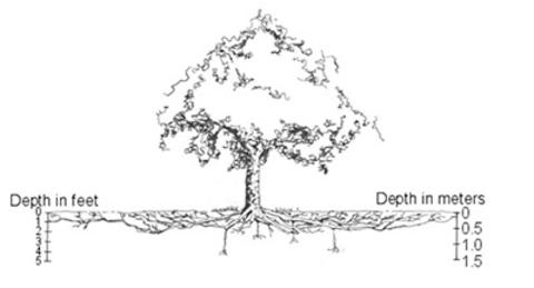 Diagram of a tree with root depth in feet (left) and root depth in meters (right).