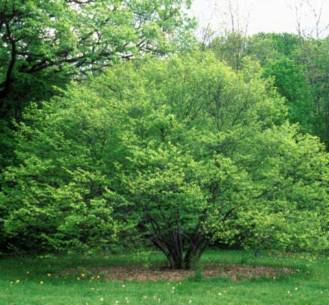Rounded plant shape of a green-leafed blue beech tree
