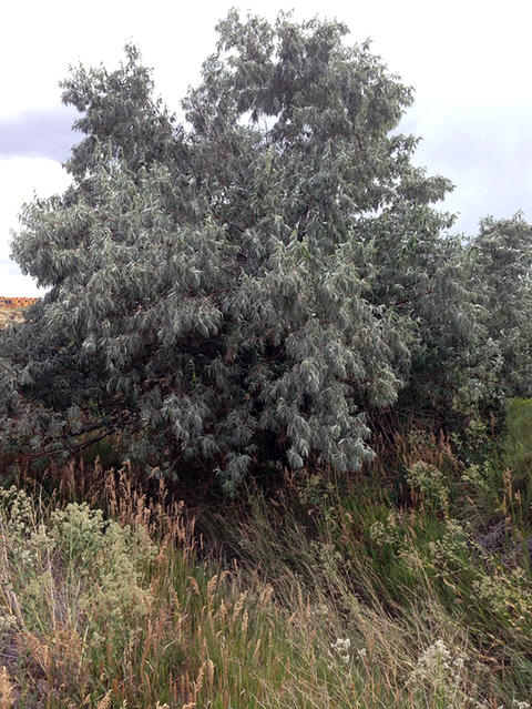 russian olive tree growing in the grass