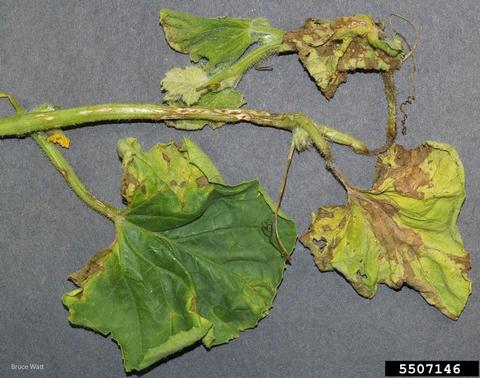 Cucurbits leaves infected by scab with brown spots