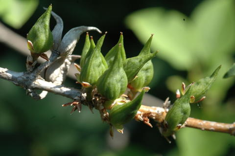 Green seed capsules of forsythia on a branch
