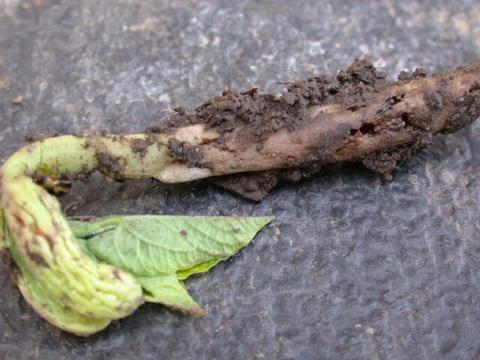 snap bean seedling with soil on the roots that has been damaged by seedcorn maggot.