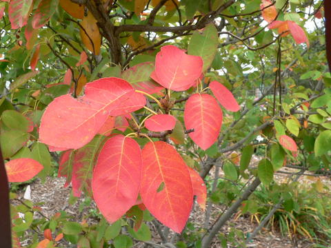 A branch of 'Autumn Brilliance' serviceberry with red fall color