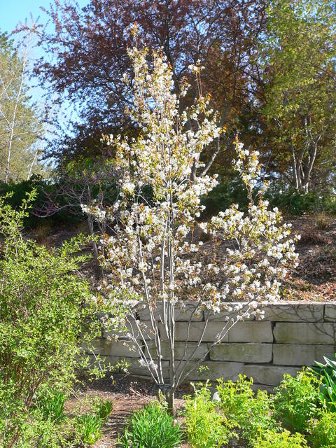 Serviceberry umn extension autumn brilliance serviceberry thecheapjerseys Gallery