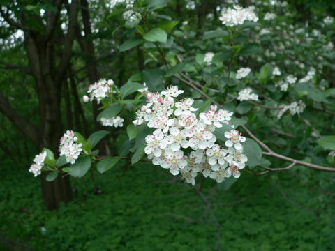 Five-petaled white flowers of serviceberry