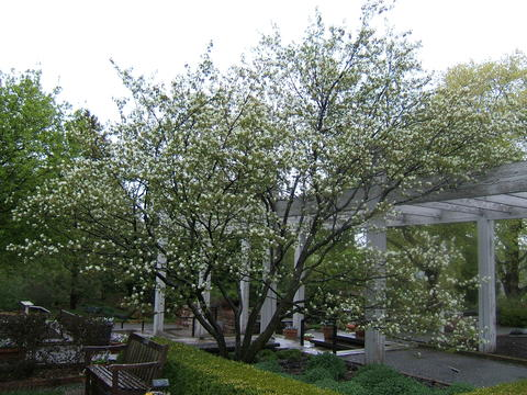 Tree form of serviceberry with multiple stems