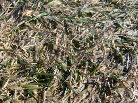 Close up of patch of grass with brown, moldy areas.