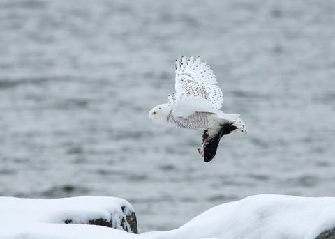 snowy owl flying with captured prey