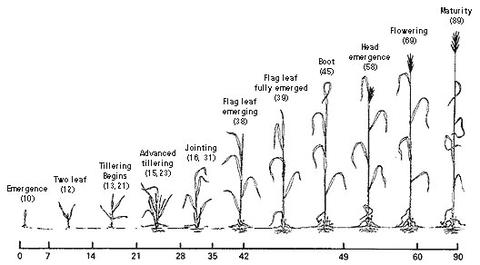Spring wheat growth and development guide
