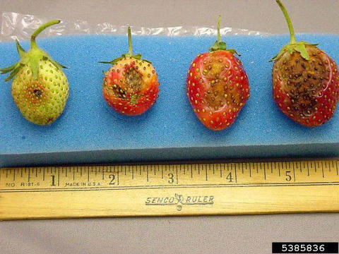 four strawberries in different stages of ripeness lined up on a sponge background with a wooden ruler below them. the least developed berry is on the far left. each berry is a little bigger than the previous one and each has a dark spot or blotch that gets progressively bigger