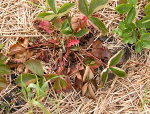 strawberry plant with wilting and dying leaves on a bed of straw