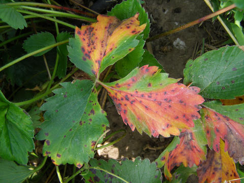 strawberry leaves with orange-red blotches and dark spots