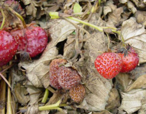 strawberry leaves lying on brown, dead leaves. some are red and some are brown and shriveled