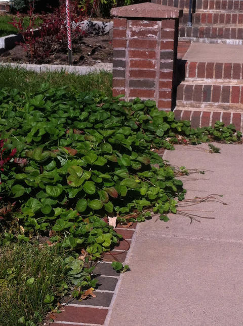 strawberry plants with runners along a sidewalk leading up to brick steps