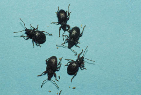 Five black beetles with elongated snouts, two antennae and six legs each